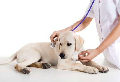 Veterinarian placing a stethoscope on a dog
