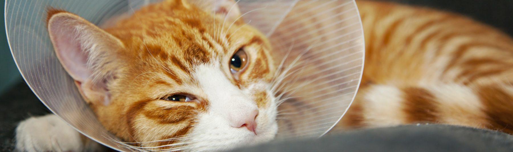 cat-spay-neuter