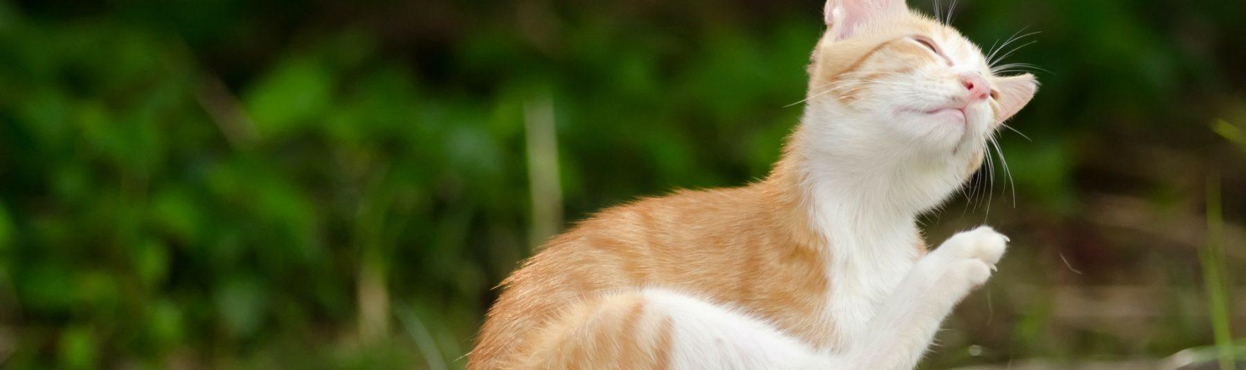 cat-fleas
