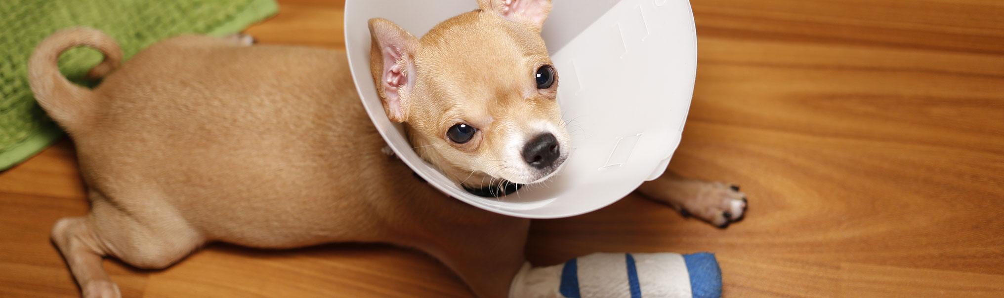 dog orthopedic surgeon near me
