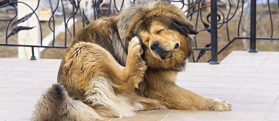 fleas on dog