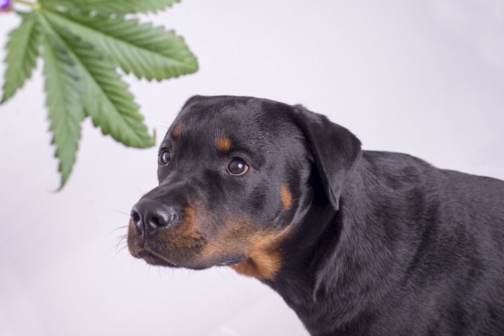 So Your Dog Got High? - Riverview Animal Hospital