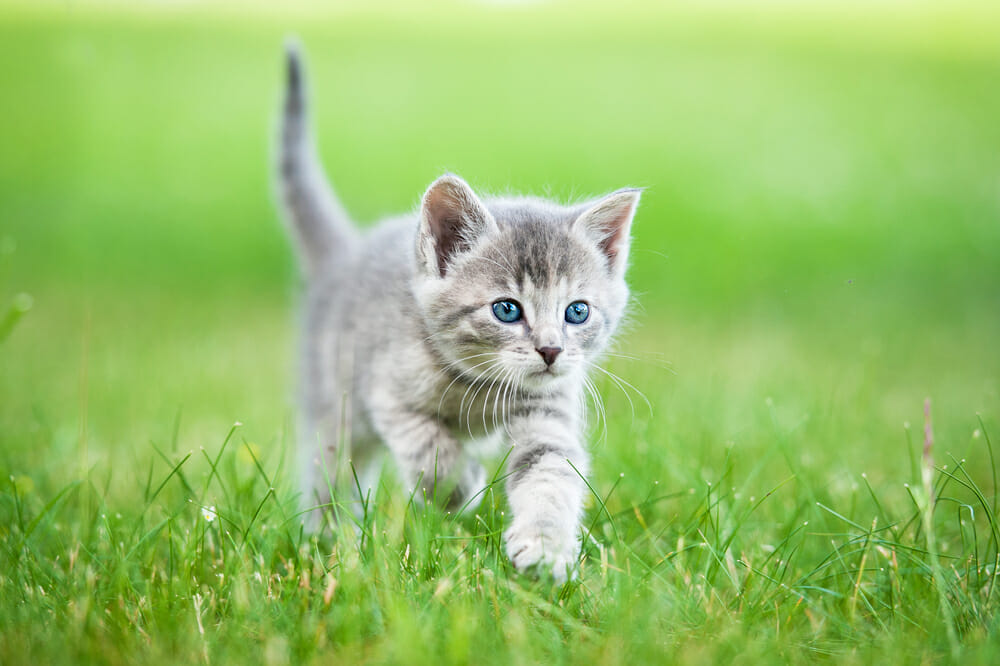 Kitten walking in a field of grass