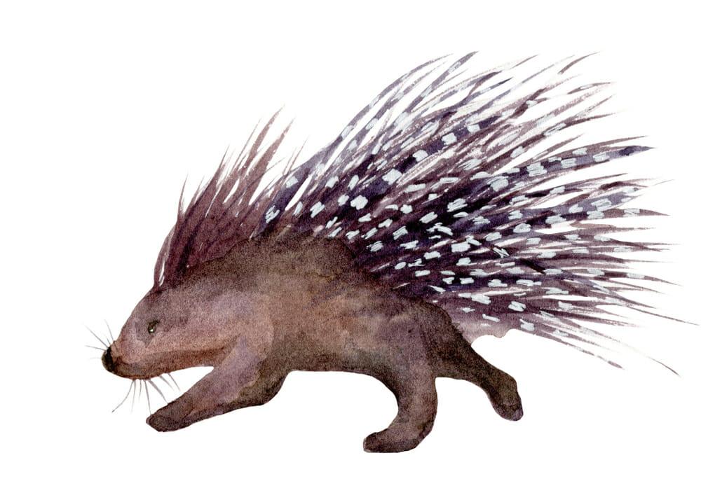 North American Porcupine - CuriOdyssey | 707x1000