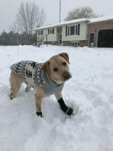 Cooper the dog wearing his coat and boots in the snow