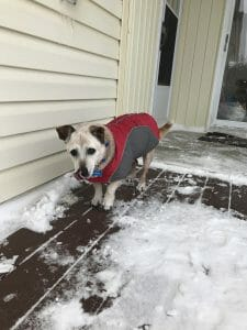 Noli the dog wearing a coat in winter