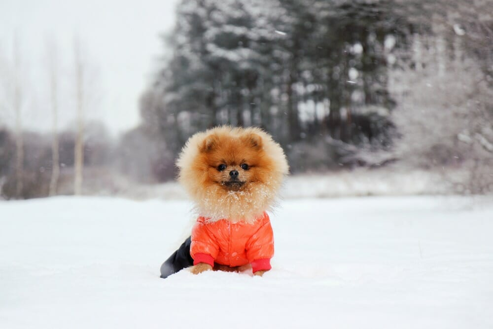 Dog wearing an orange coat and sitting in snow